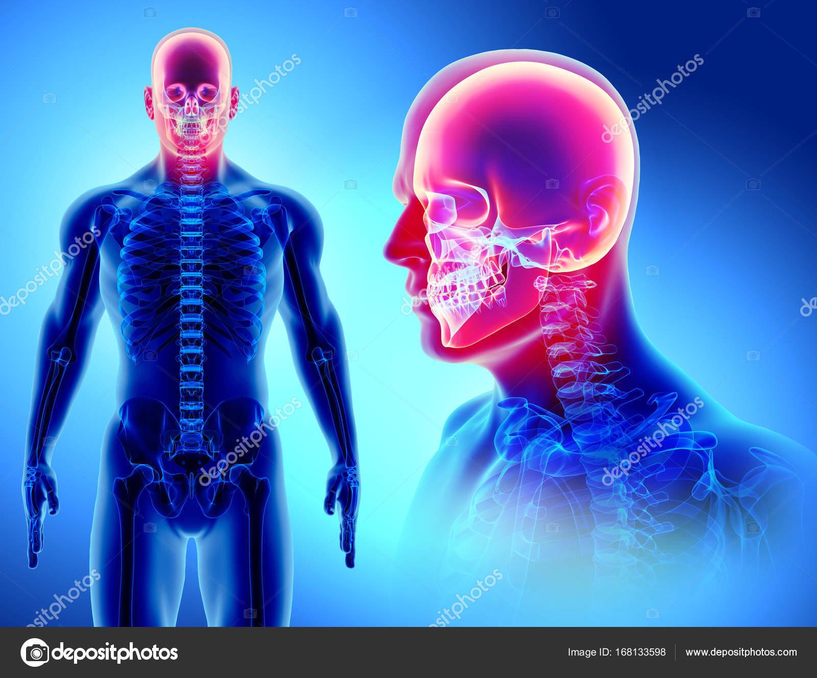 3D illustration of skull anatomy - part of human skeleton  — Stock