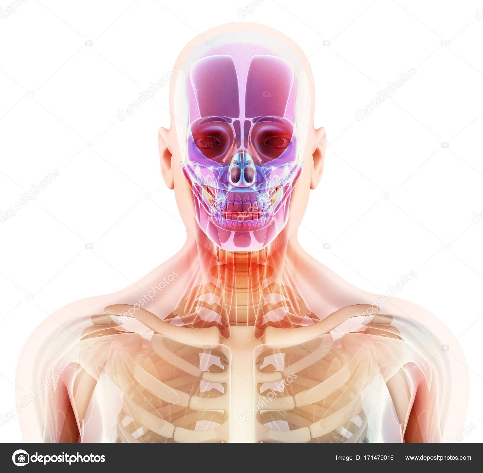 3D Darstellung der Schädel Anatomie - Teil des menschlichen Skeletts ...