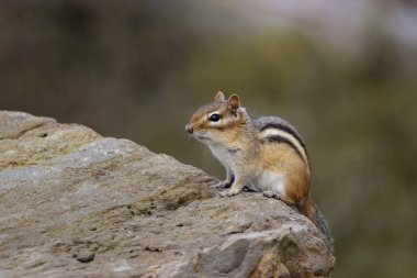 Close up of Chipmunk on rock