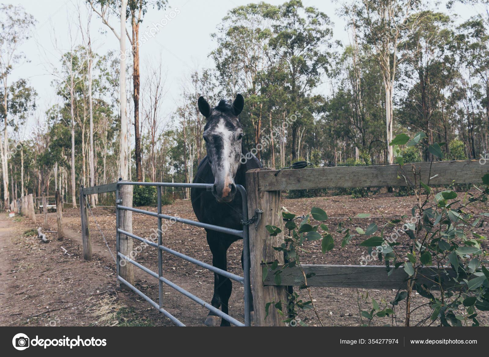 Beautiful Black Horse White Stain Forehead Wild Ranch Spanish Horse Stock Photo C Yaizahigueras 354277974