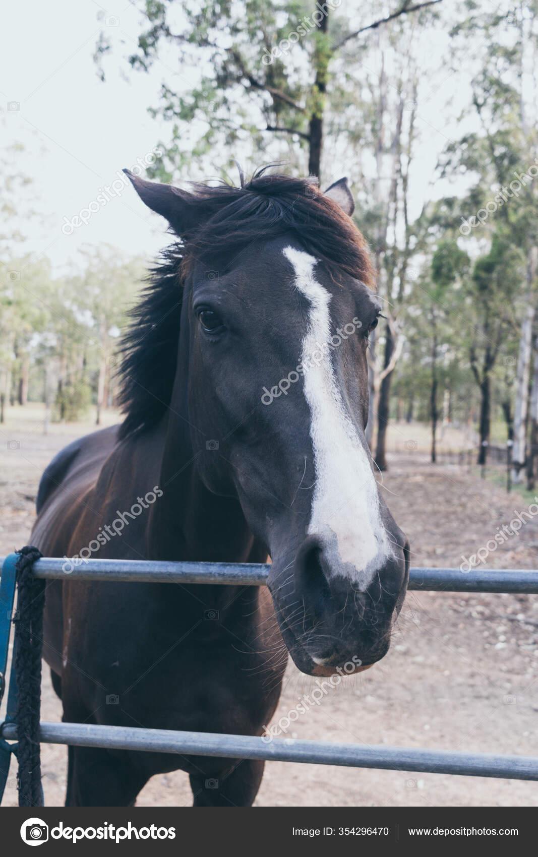 Beautiful Black Horse White Stain Forehead Wild Ranch Spanish Horse Stock Photo C Yaizahigueras 354296470