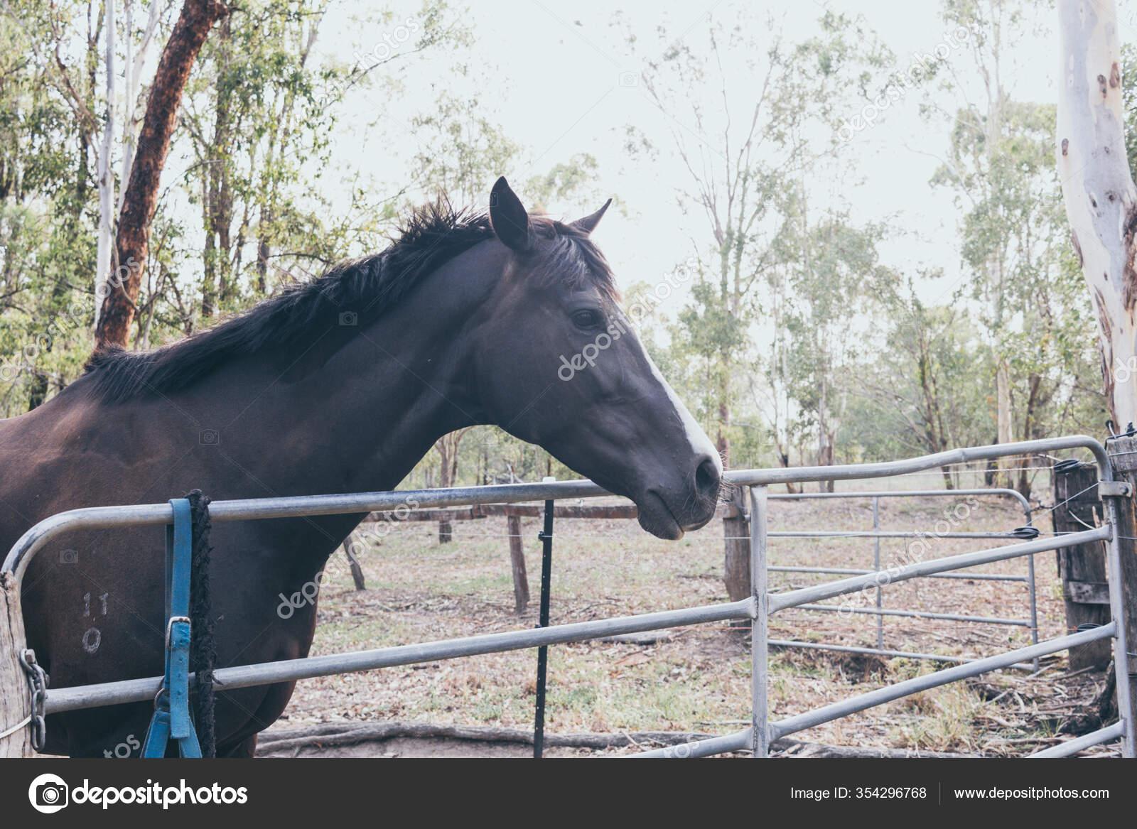 Beautiful Black Horse White Stain Forehead Wild Ranch Spanish Horse Stock Photo C Yaizahigueras 354296768