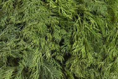 Fresh and bright dill, close-up. Texture of fresh dill