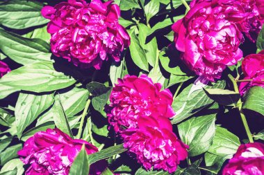 bush with flowers of pink peonies in the garden��