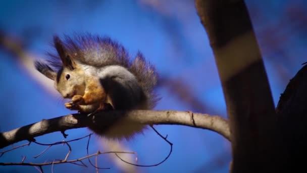 veverky jedí ořechy v lese
