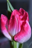 Szép tavaszi virágok-tulipán.