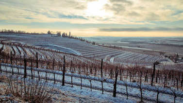 snowy morning in the vineyard