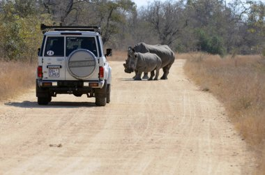 A view of rhinos on the road in Kruger National Park, South Africa