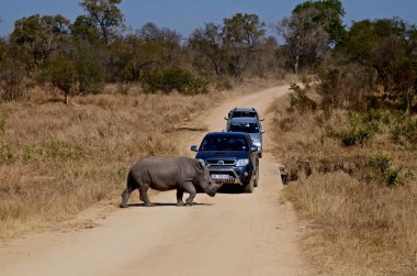 A rhino crosses a road in Kruger National Park in South Africa