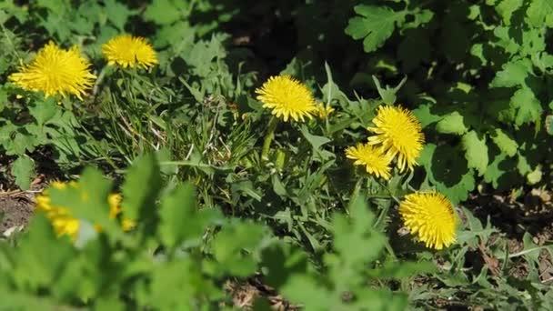 Žluté pampeliška květy na pozadí zelených listů rozvíjet ve větru, pohybující se fotoaparát.