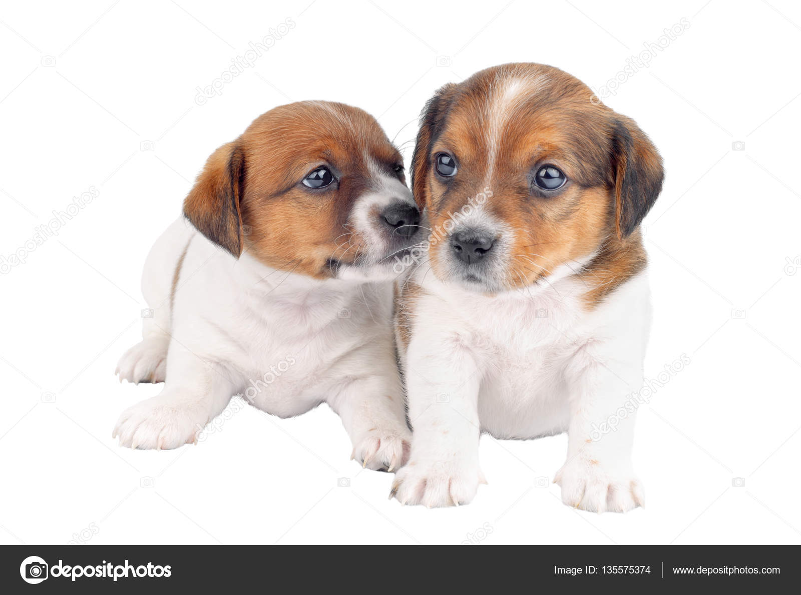 Two Puppies Playing Isolated On White Background Stock