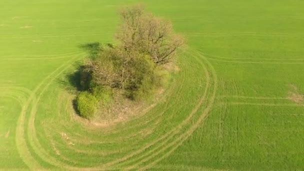 Drónrepülés a magányos fa körül a réten. Légi felvétel a fényes nap alatt hajnalban.