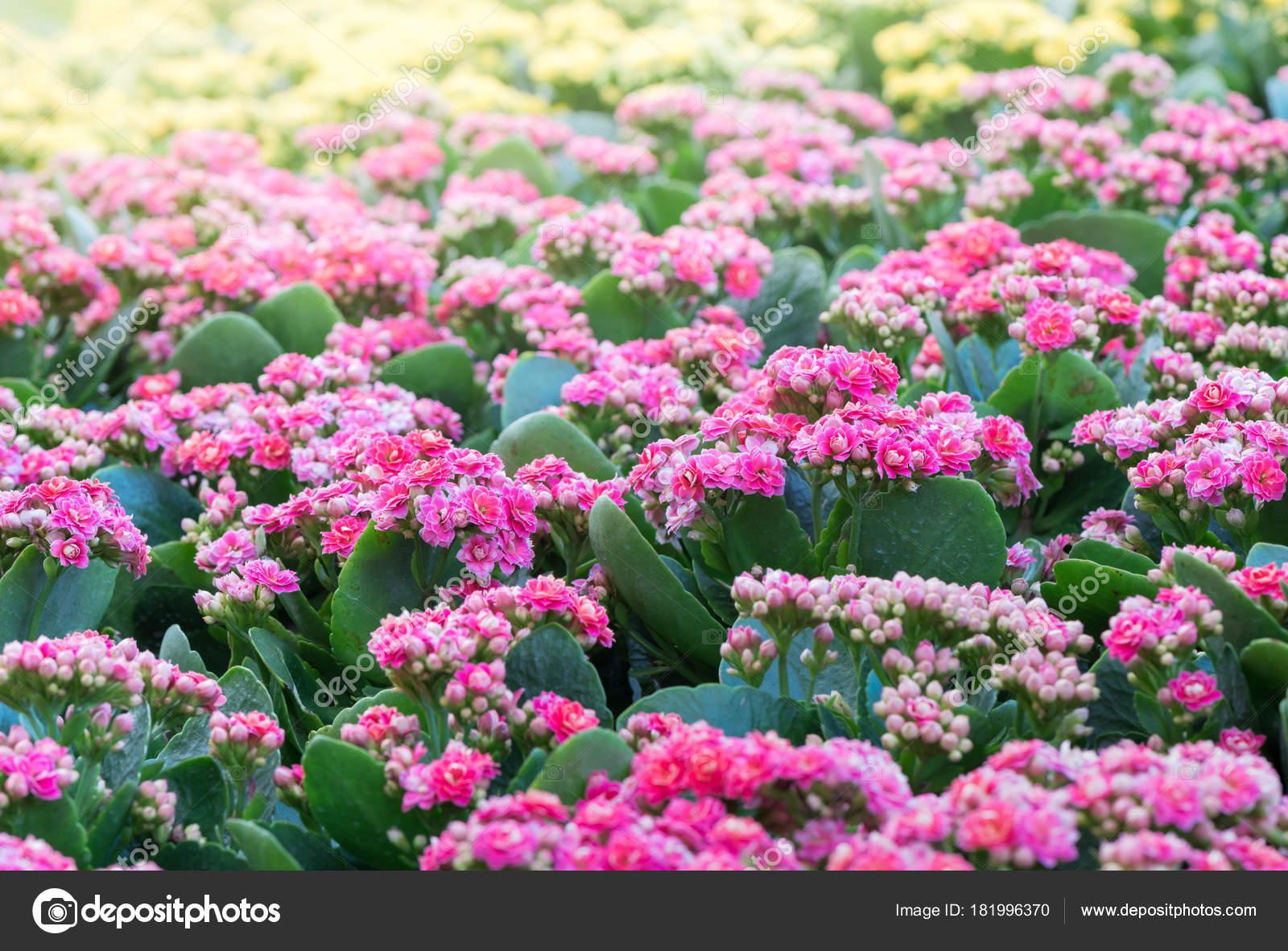 Belle Fleur Kalanchoe Rose Dans Le Jardin Photographie