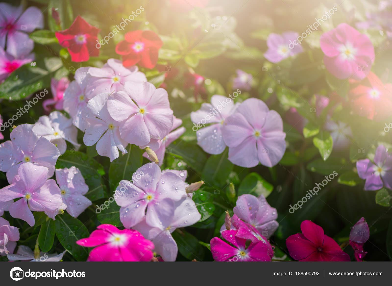 Madagascar Periwinkle Flower In Garden Stock Photo