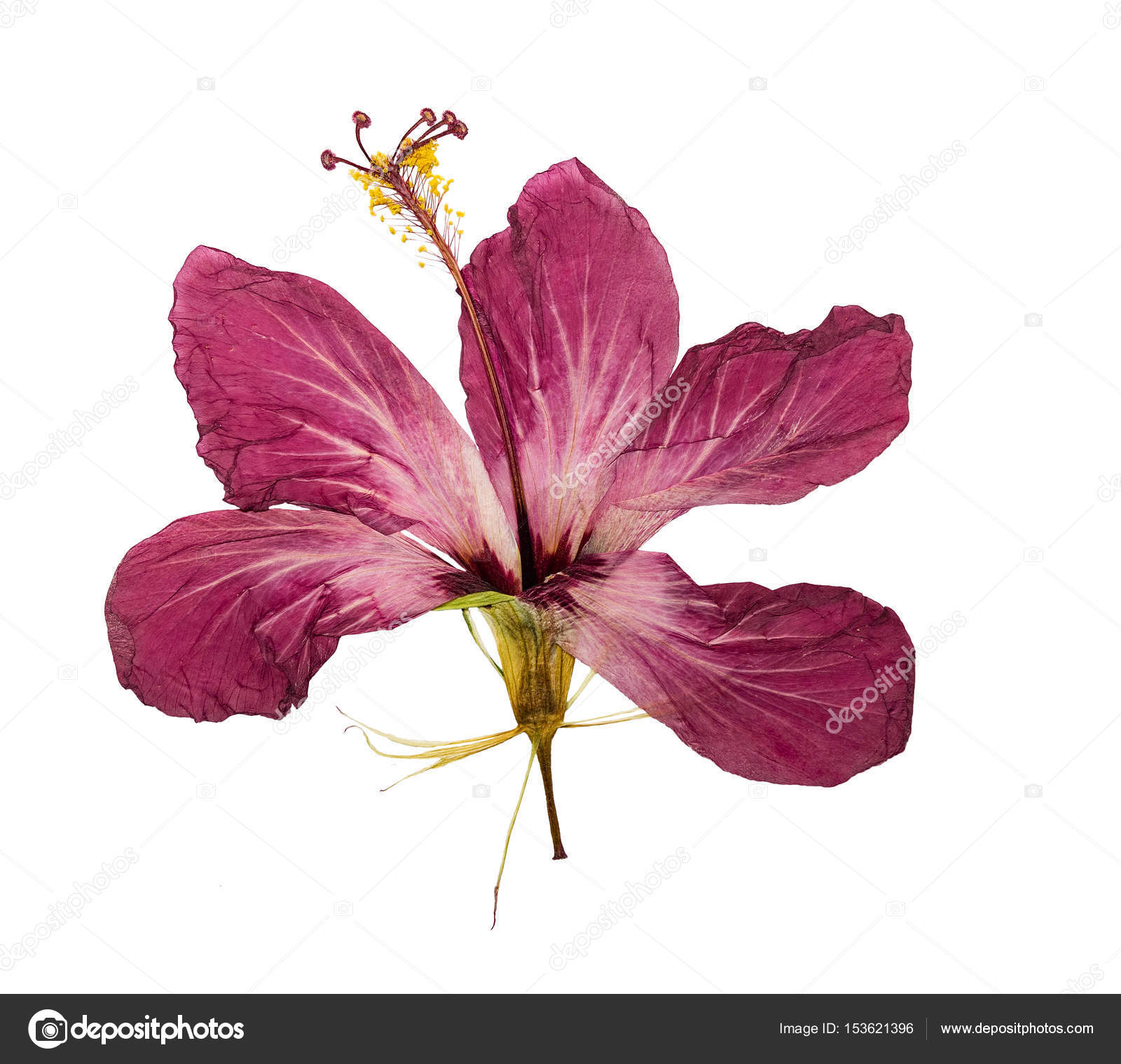 Pressed and dried flower hibiscus isolated stock photo svrid79 pressed and dried flower hibiscus isolated stock photo izmirmasajfo
