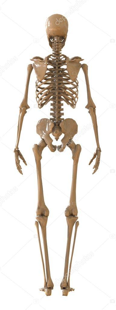 Skelett 3d