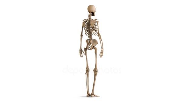 La disposición del esqueleto humano. Esqueleto de rotación sobre ...