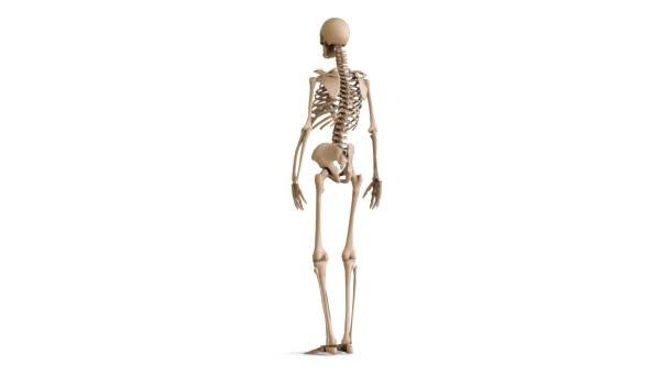 Das Layout des menschlichen Skeletts. Skelett auf weißem Hintergrund ...