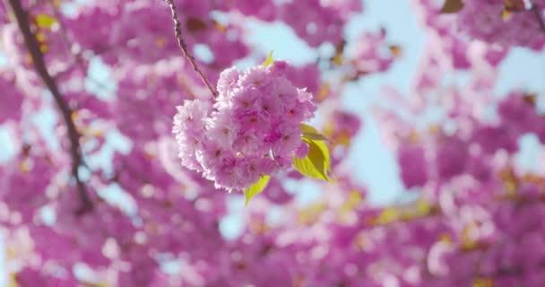 Sakura - dokonale vypadající květy krásné kvetoucí japonské třešně na slunném jarním dni - detailní záběr, panning shot - Prores