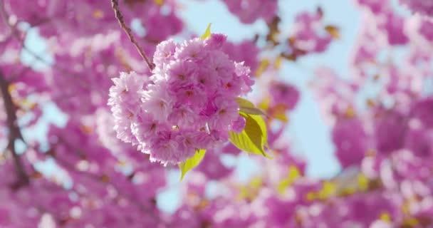 Sakura - perfektně vypadající čerstvé květy krásné kvetoucí japonské třešně na slunném jarním dni - detailní záběr - fotoaparát pan + zoom - Prores