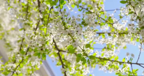 Sakura  - Close-up, that is showing the beautiful white flowers of a lush blooming cherry tree on a sunny day - shallow depth of field - ProRes | The video was shot from public ground
