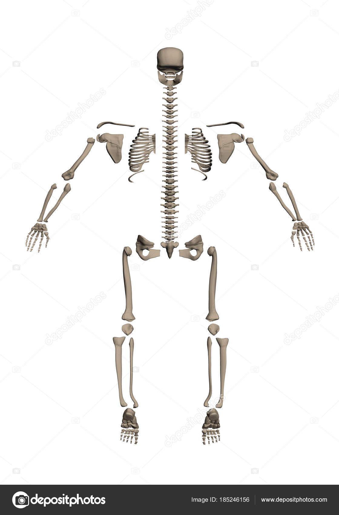 Skelett am Knochen abgebaut — Stockvektor © Slim3D1 #185246156