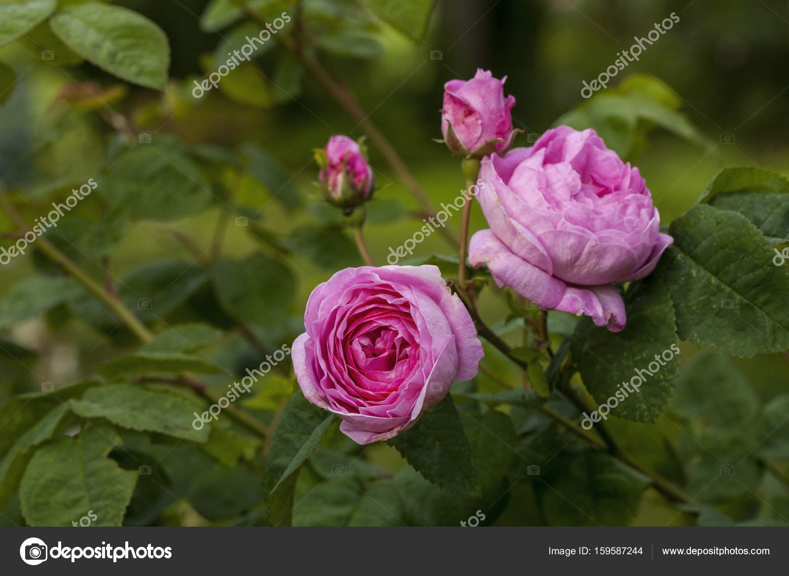 Rosa Centifolia (The Provence Rose or Cabbage Rose ...