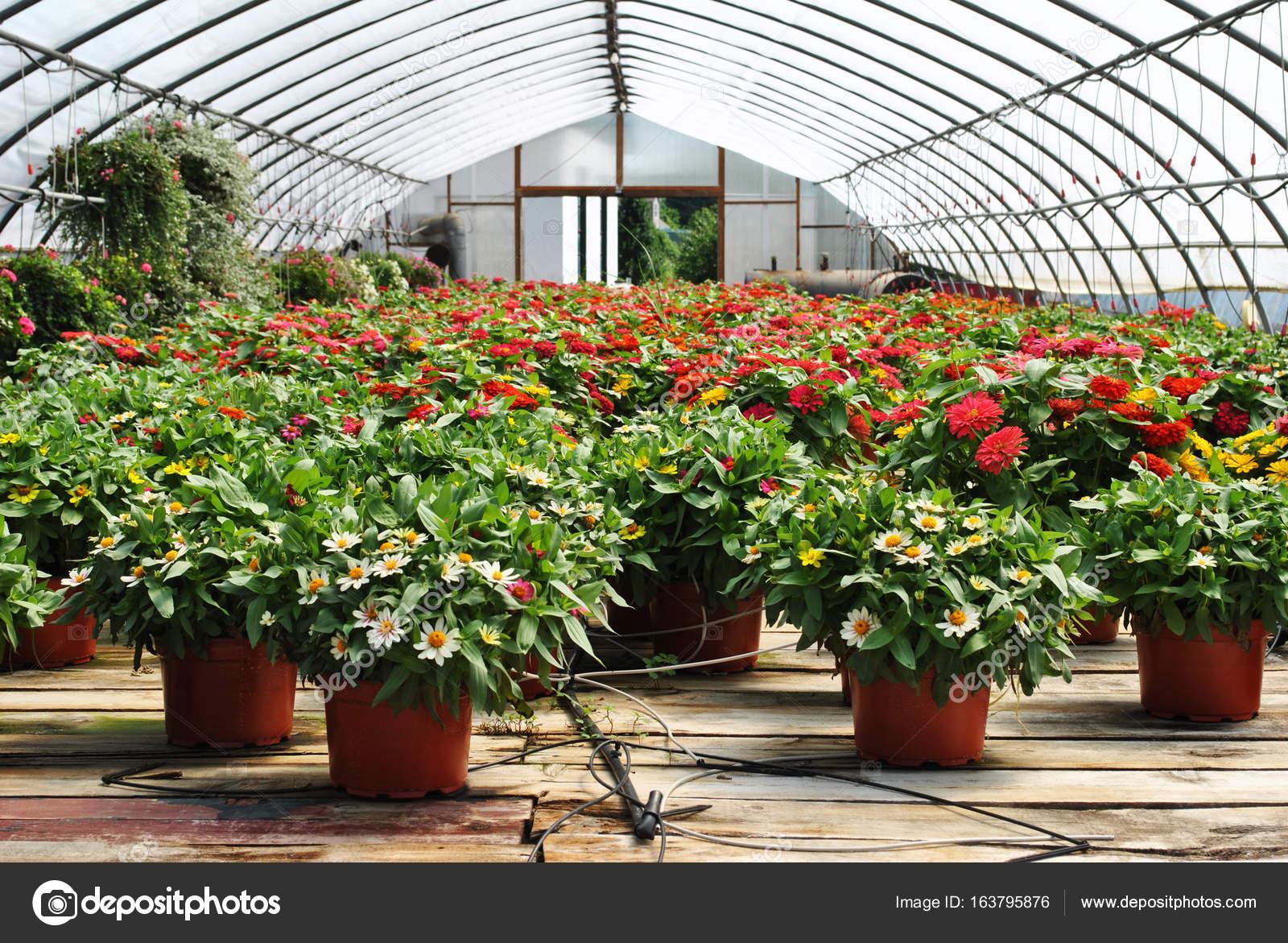 À effet de serre en pot de plantes avec un système d'arrosage