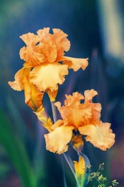 Blossoming Iris flowers