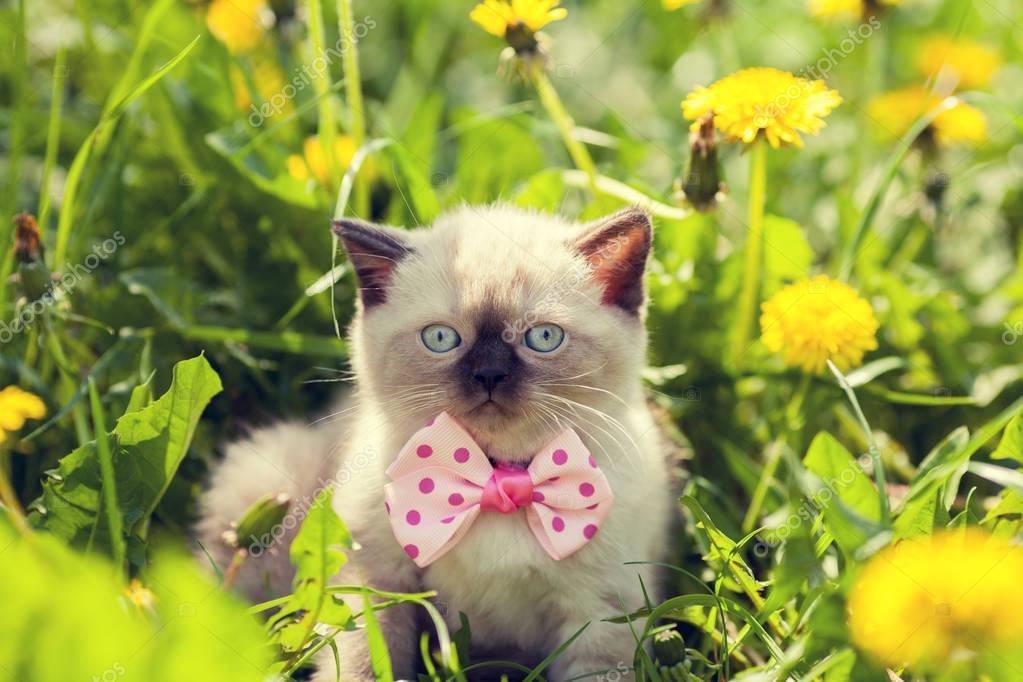 little kitten wearing bow tie