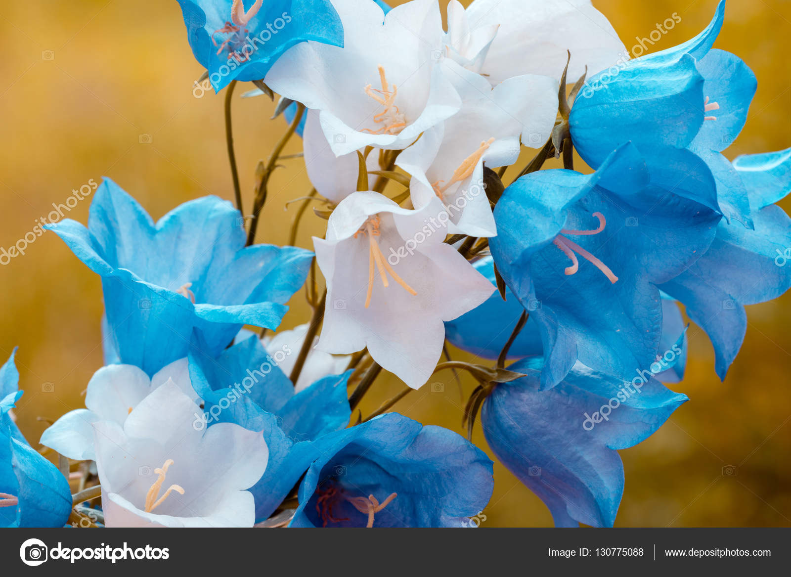 à feuilles rondes bleues et blanches fleurs — photo #130775088