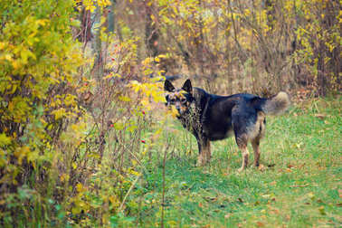 Dog walking in a forest in autumn