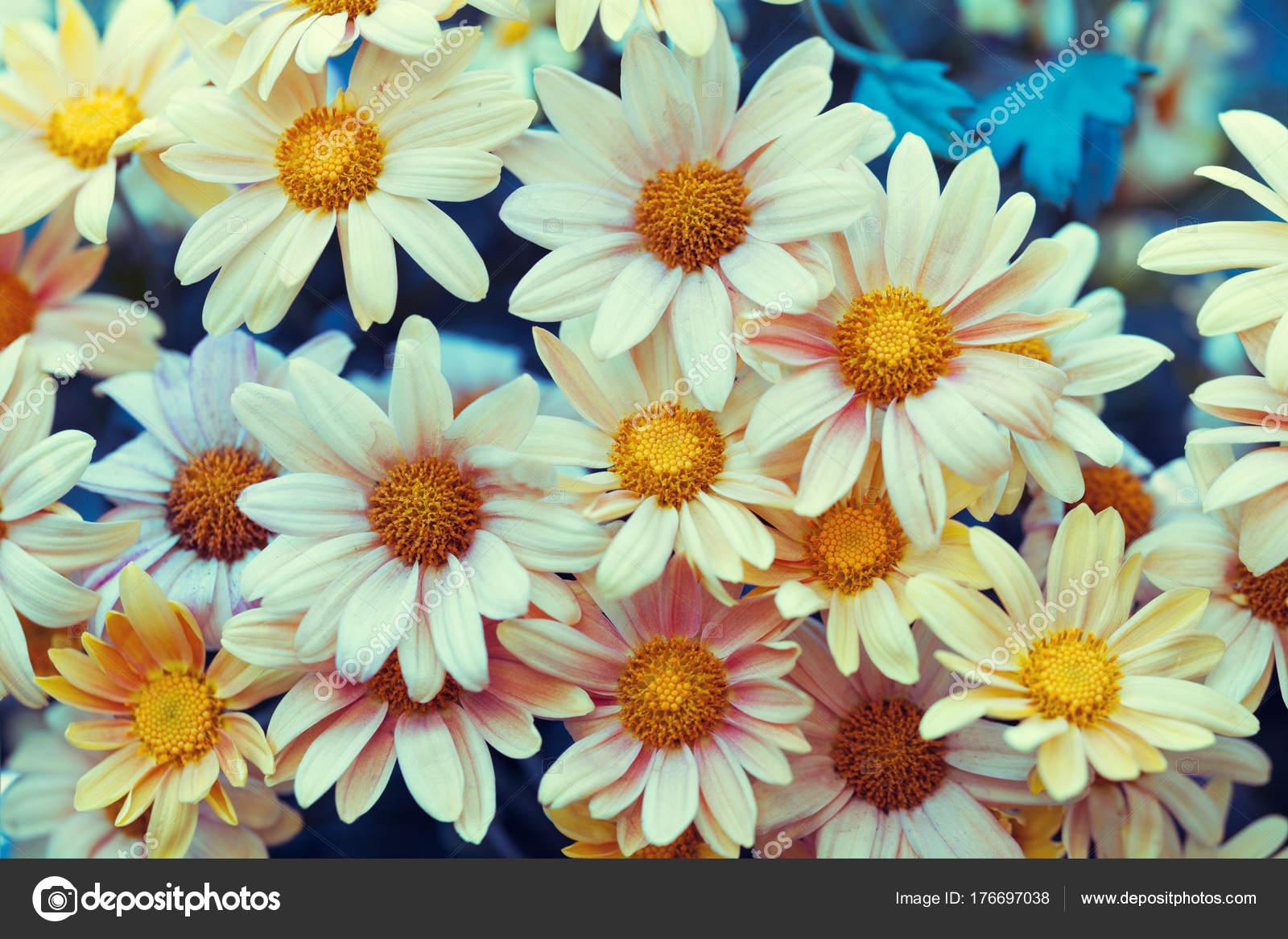 Vintage Daisy Flower Background — Stock Photo © vvvita ...