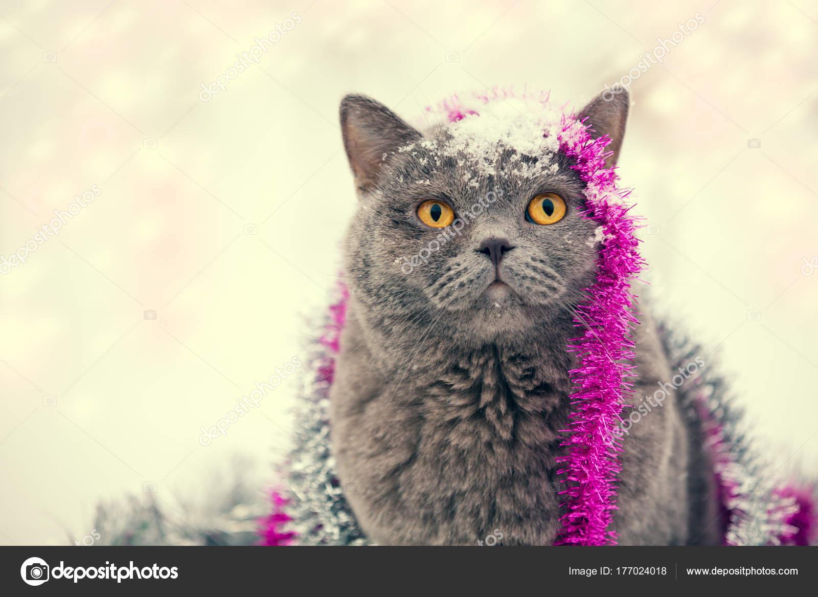 Portret Niebieski Kot Brytyjski Krótkowłosy Uwikłany Kolorowe