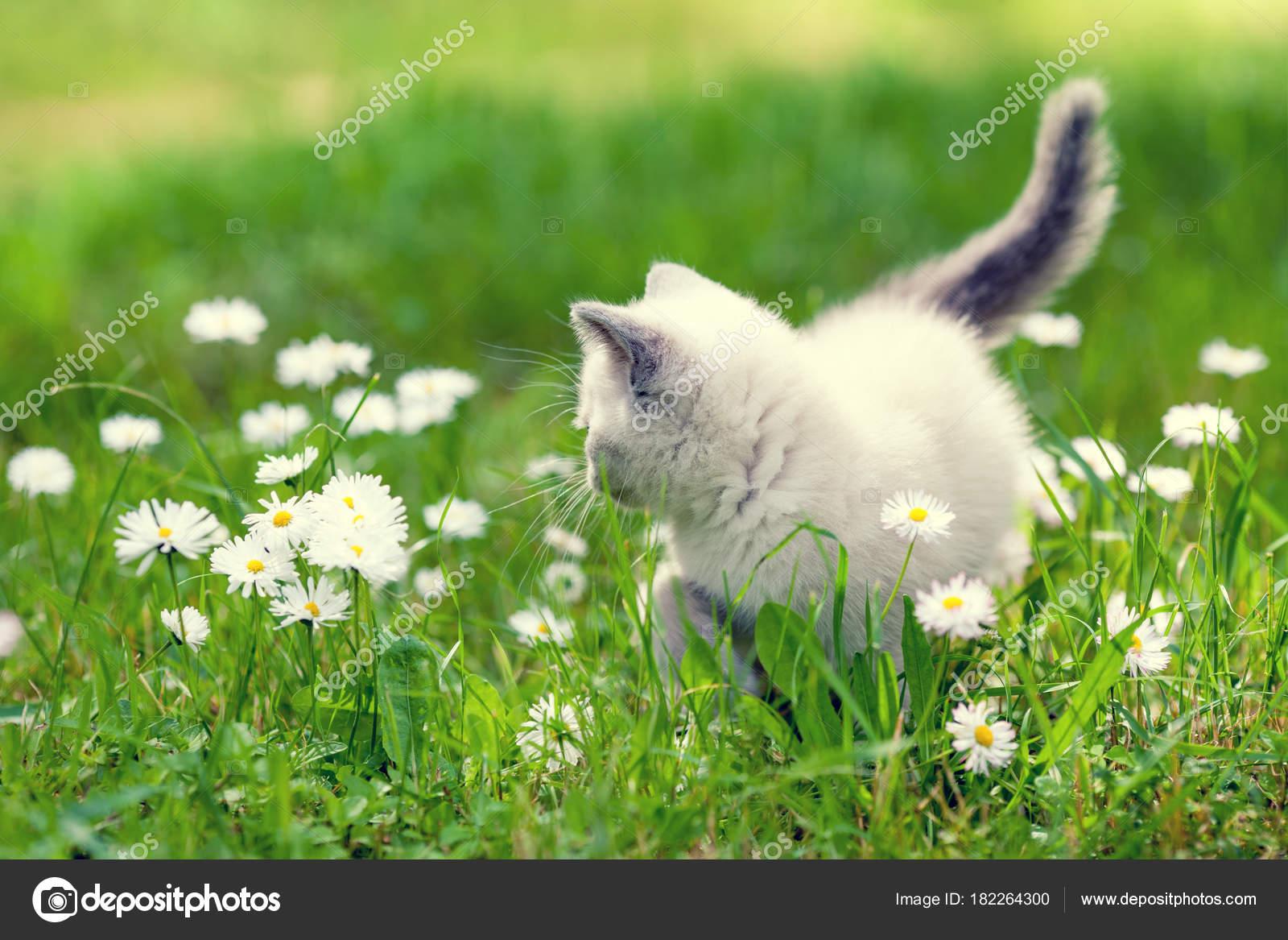 Cute little kitten walking daisy flower lawn summer stock photo cute little kitten walking in the daisy flower lawn in summer photo by vvvita izmirmasajfo