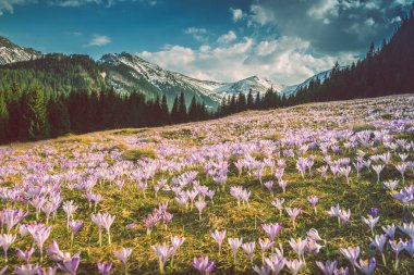 Crocuses meadow and the Mountains. Tatra Mountains in Poland