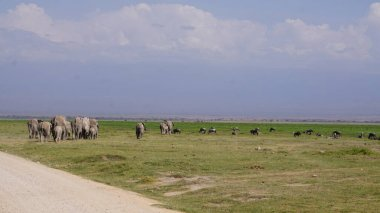 Elephants in Amboseli National Park in Kenya, Africa