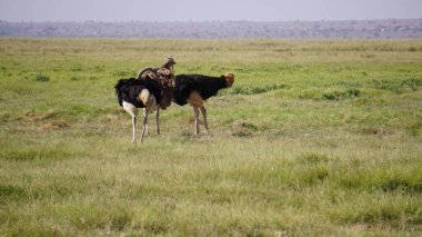 """Картина, постер, плакат, фотообои """"страусы в национальном парке амбосели в кении, африка картины"""", артикул 373167516"""