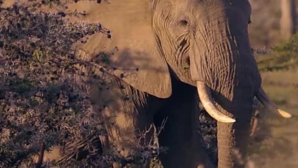 Afrikai elefántok, elefántborjú portré közelről. Elefántgyülekezet. Vadvilág Savannában.