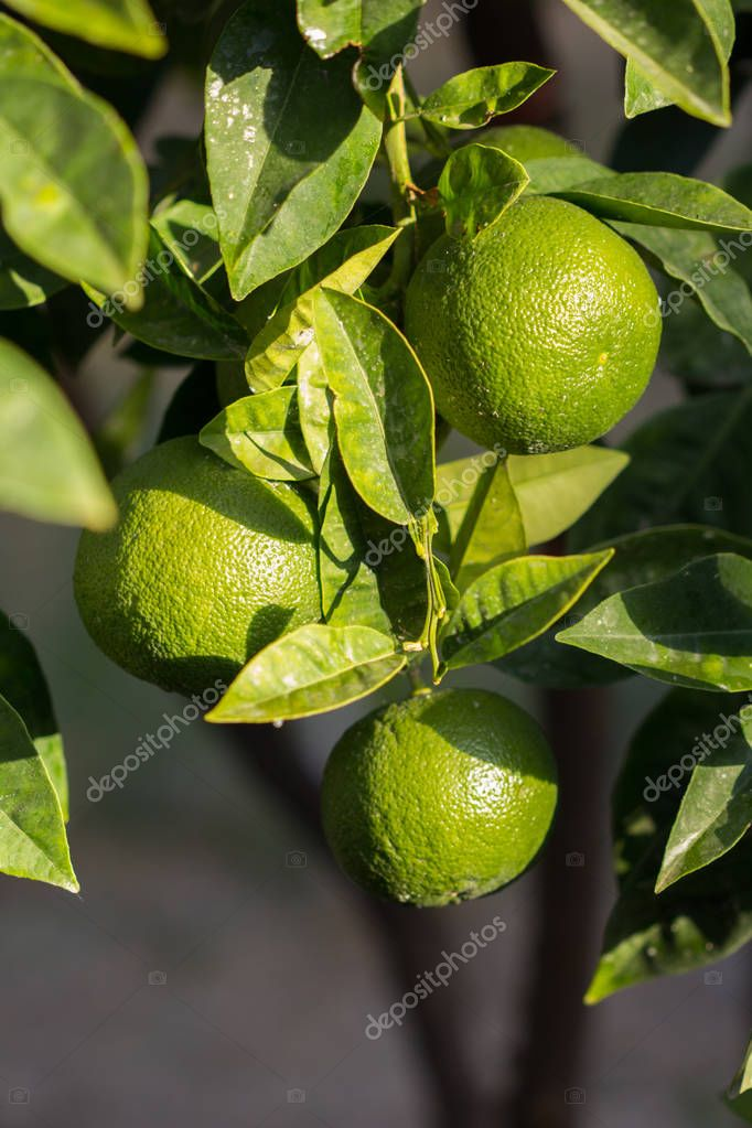 Lime fruits on branch