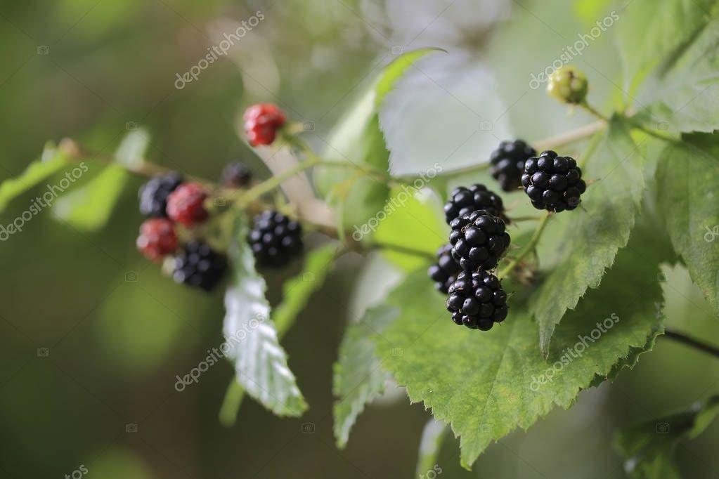 Berry blackberries.Black ripe berries of blackberry  grow on a branch in the wood.