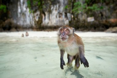 Monkey waiting for food in Monkey Beach, Phi Phi Islands, Thaila
