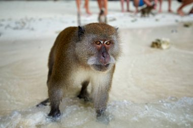 Monkey waiting for food in Monkey Beach and tourists in the back