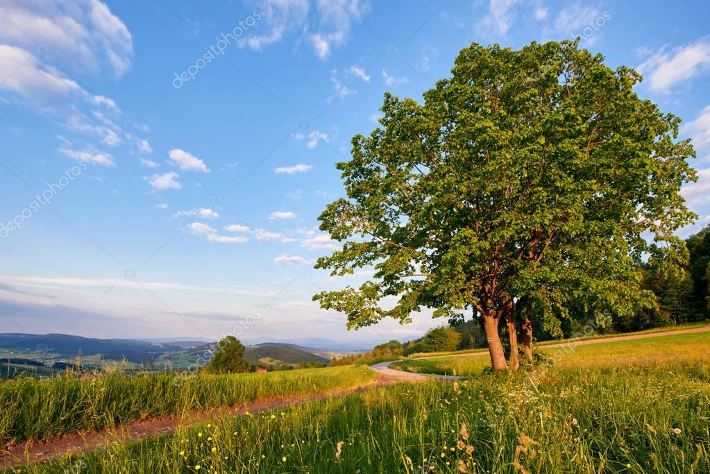 Old tree on green field, Poland