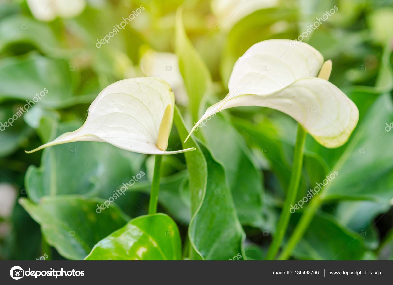White Anthurium Andreanum Or Flamingo Flower Stock Photo Gamjai