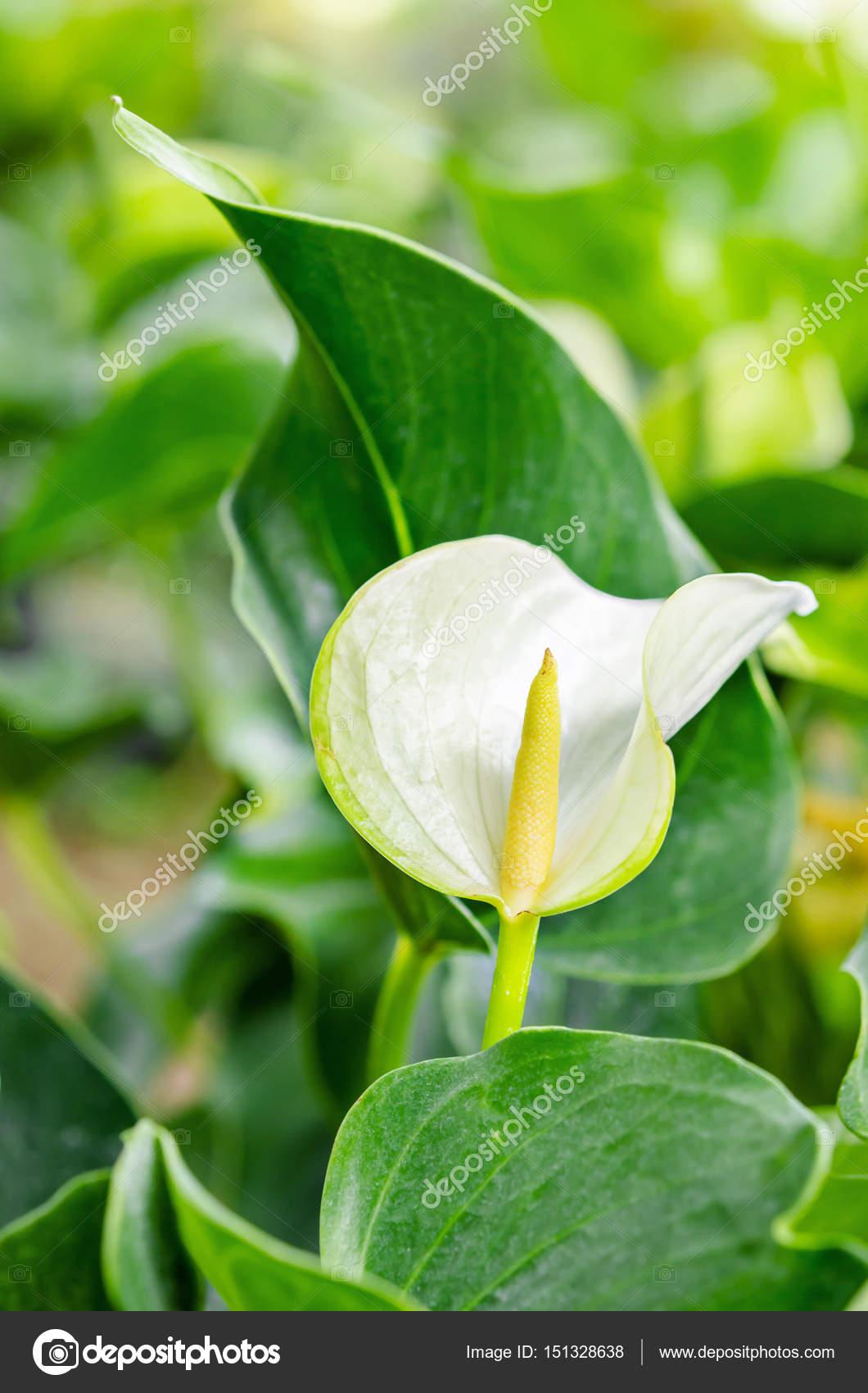 White Anthurium Flowers Stock Photo Gamjai 151328638