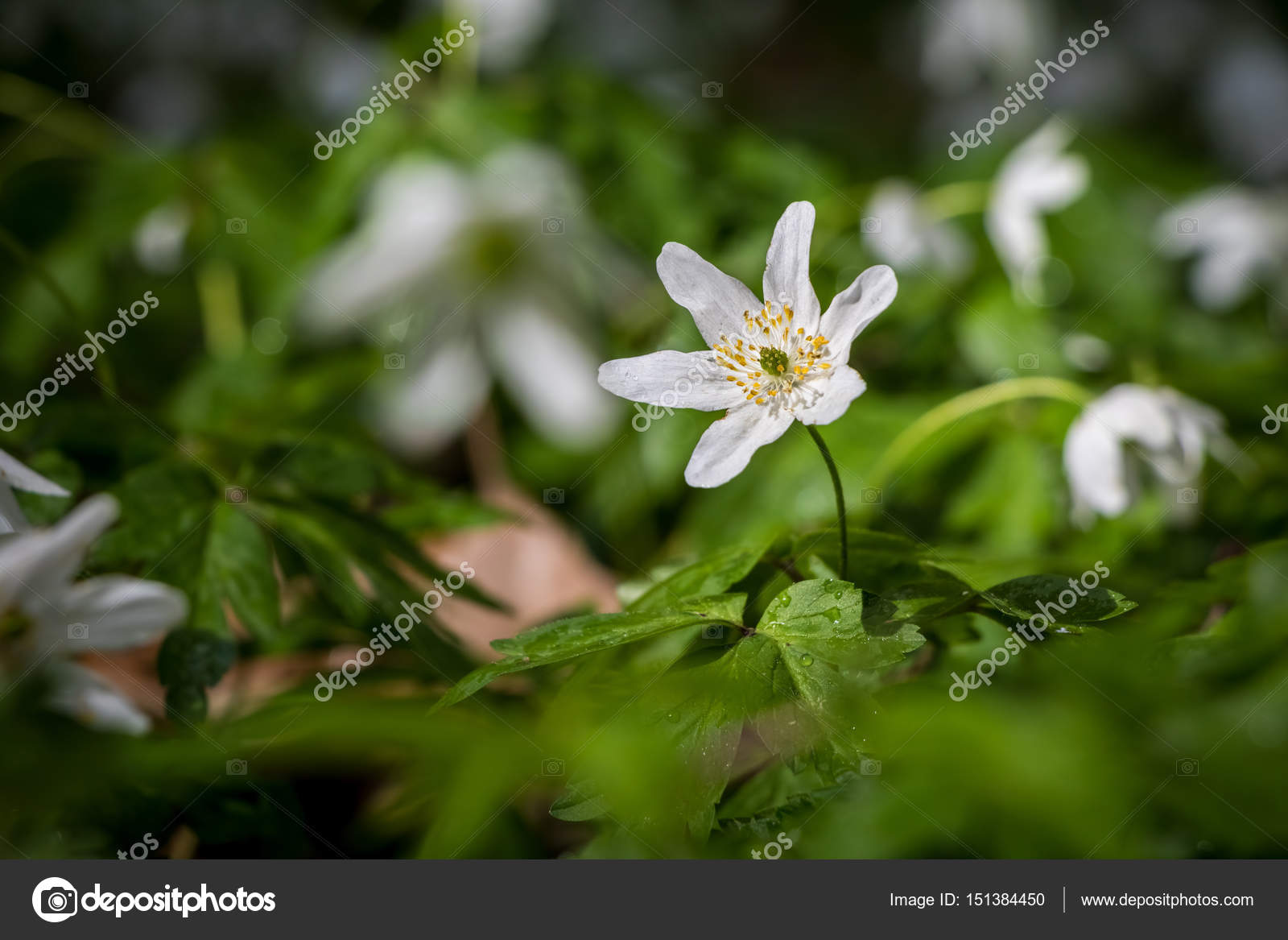 White Flowers Of Wood Anemone In Spring Forest After Rain Stock
