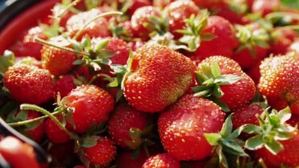 Lahodná červená zralá jahoda. Přírodní venkovský produkt ze zahrady.