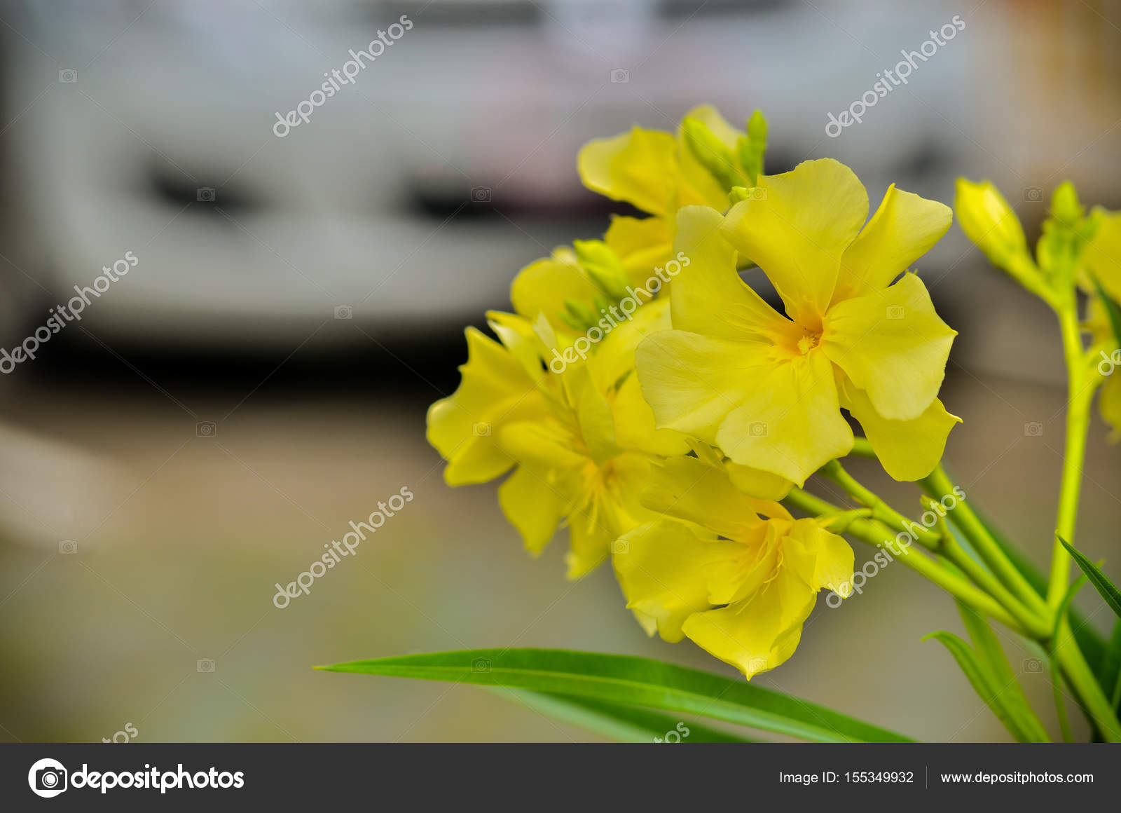 Beautiful Nerium Oleander Stock Photo Rawee2511 155349932