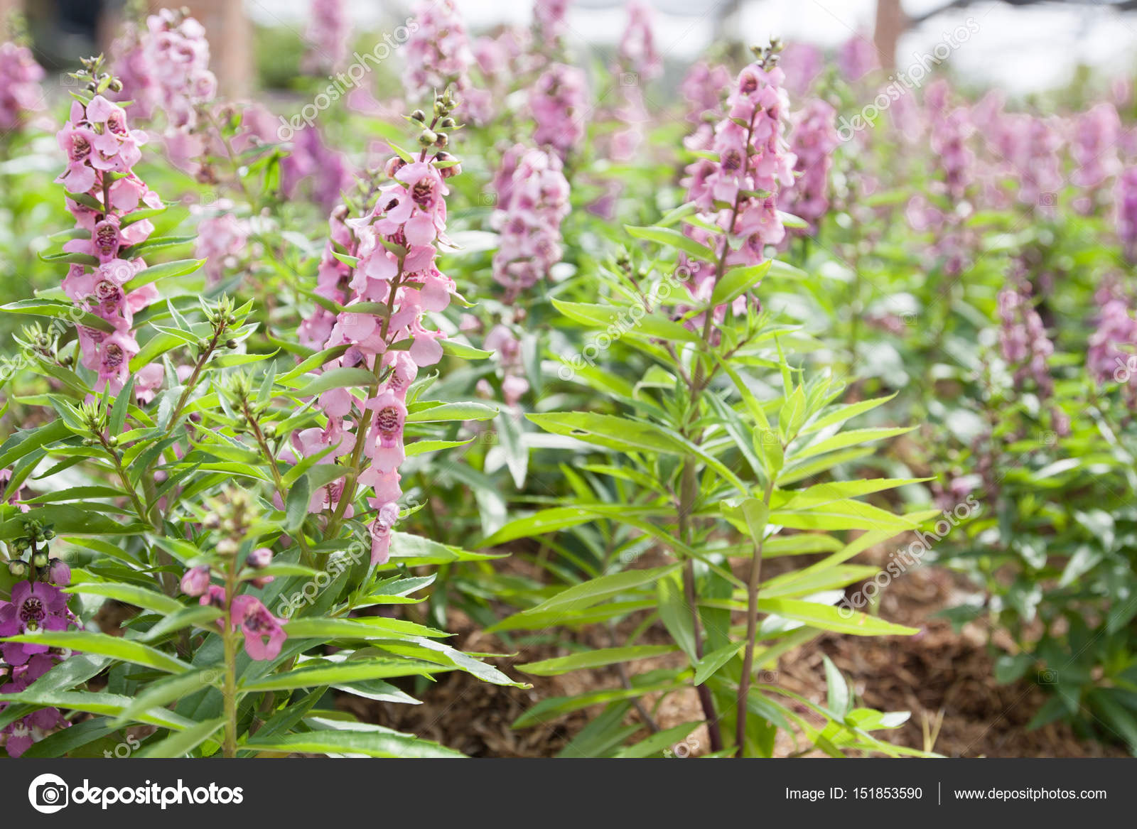 Forget Me Not Pink Flowers In Spring Stock Photo Onairjiw 151853590